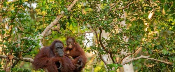 Study Orangutans in Borneo with Worldwide Navigators