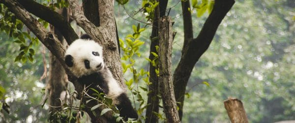 Study Animal Sciences with Endangered Pandas with Worldwide Navigators